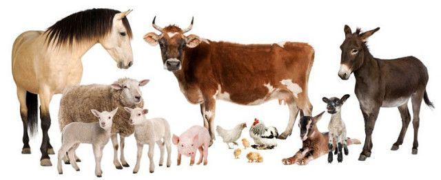 Страхование сельскохозяйственных животных: нюансы и особенности